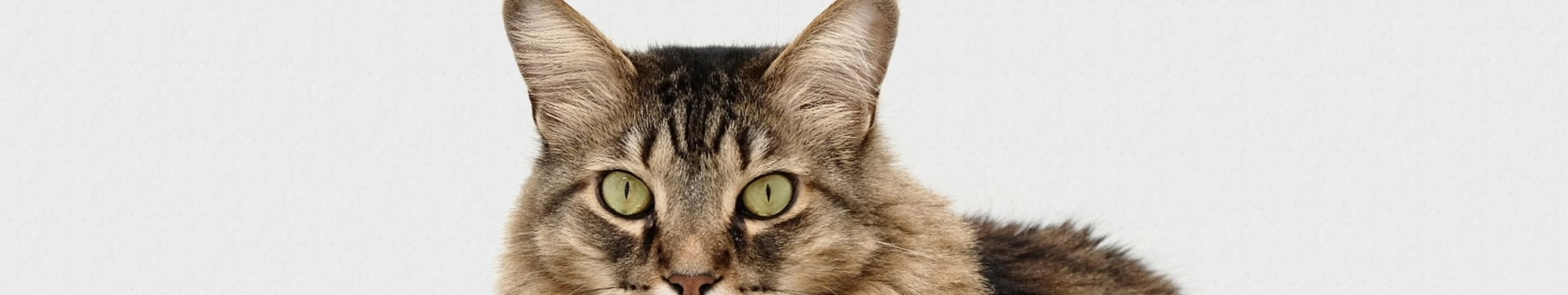 cat green eyes grey background looking at viewer